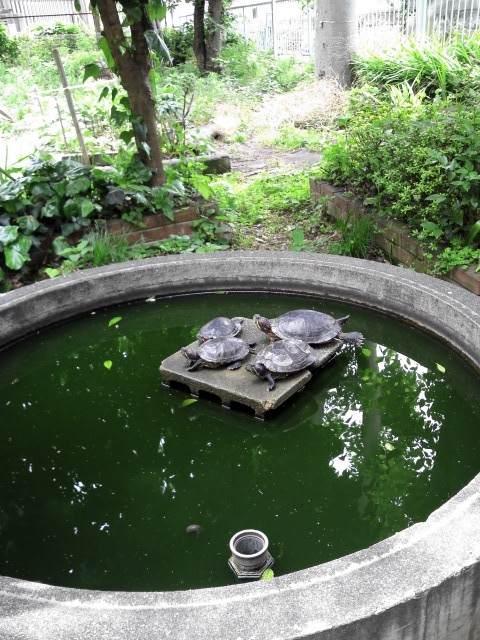 みちくさ市ブングテンの会場、旧高田小学校に住んでいる亀たち